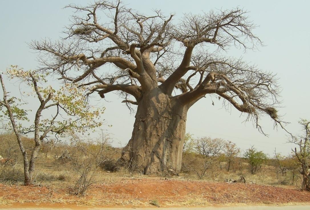 Baobab Pohon Bersejarah yang Masih Ada